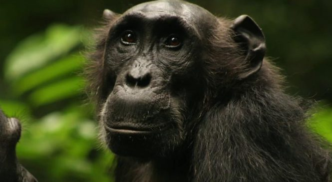 Watched chimps change their hunting habits