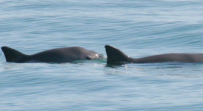 Vaquita porpoise: Dolphins deployed to save rare species