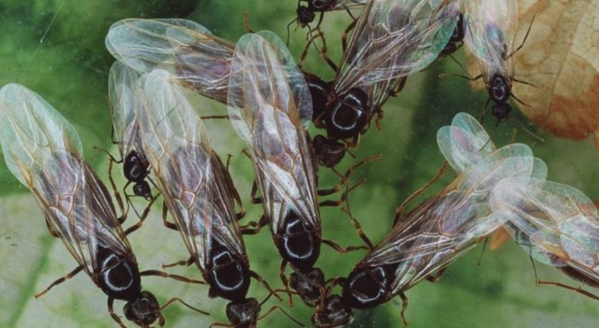 Is there such a thing as 'flying ant day'?