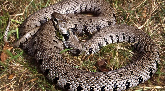New grass snake discovered in the UK