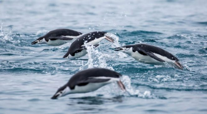 Penguin feathers record migration route