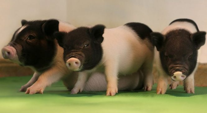 GM pigs take step to being organ donors