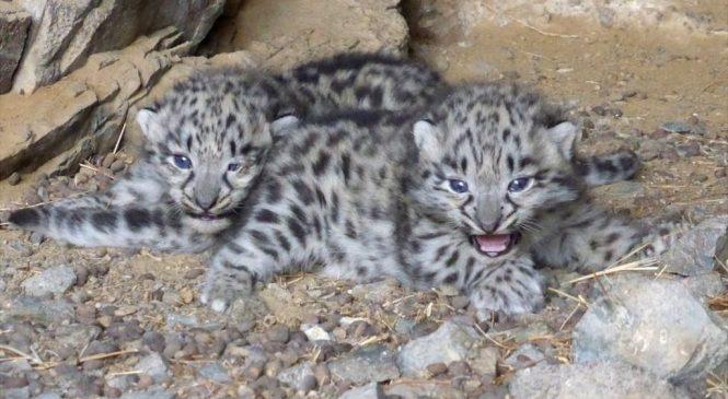 Scientists split over snow leopard status