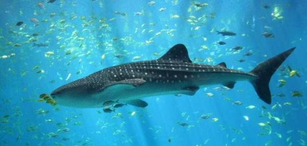 Global food markets further threaten endangered sharks, rays