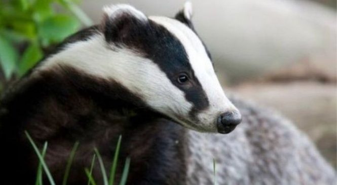 Badger culling gets go ahead in 11 new areas of England