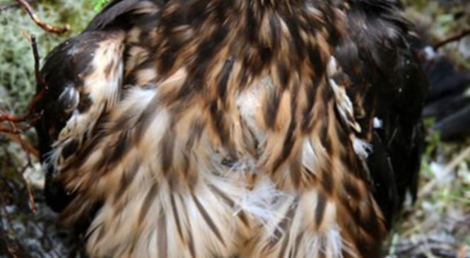 Young tagged hen harrier goes missing in 'suspicious' circumstances