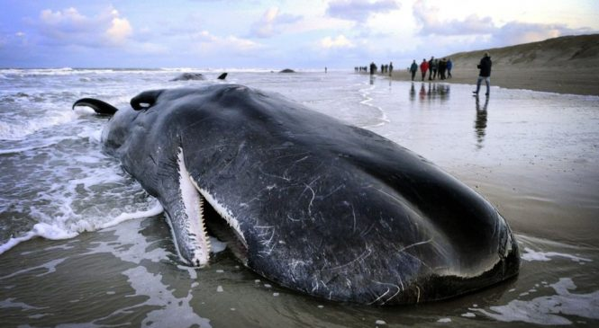Northern lights linked to North Sea whale strandings
