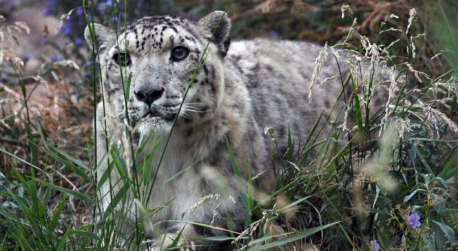 Snow leopard no longer 'endangered'