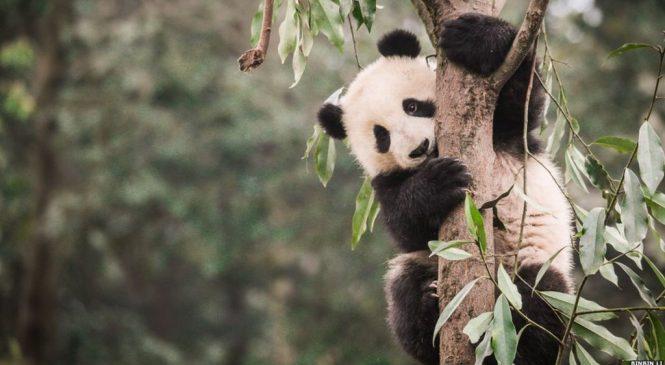 Panda's habitat 'shrinking and becoming more fragmented'