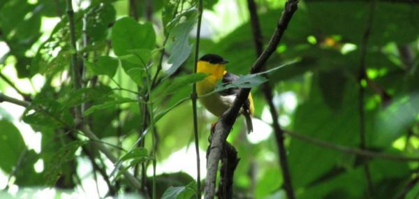 Golden-collared manakins clean, preen to attract mates