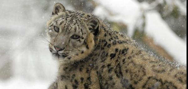Snow leopards no longer 'endangered,' conservationists rule