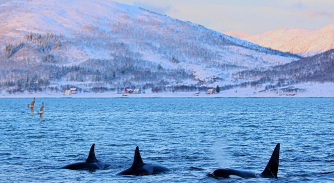 A last refuge for Europe's blighted killer whales