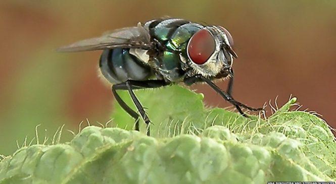 Flies more germ-laden than suspected