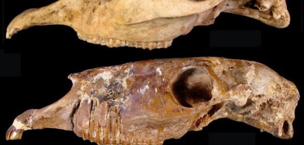Horse remains belong to unrecognized genus from last ice age