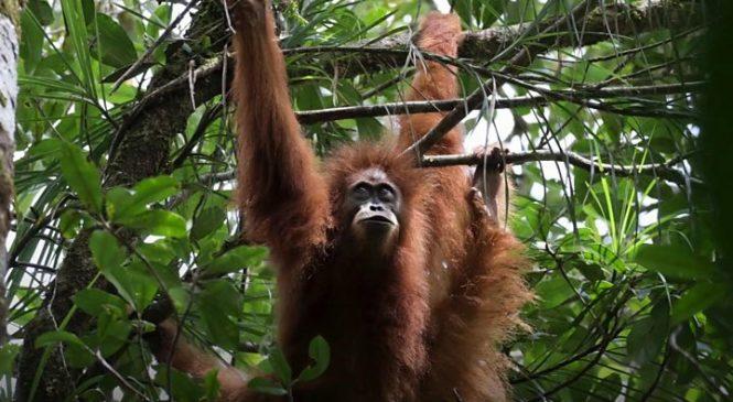 New great ape species identified in Indonesia