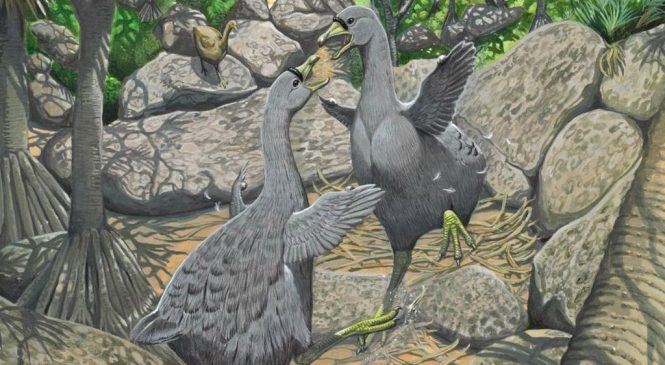 The other Dodo: Extinct bird that used its wings as clubs