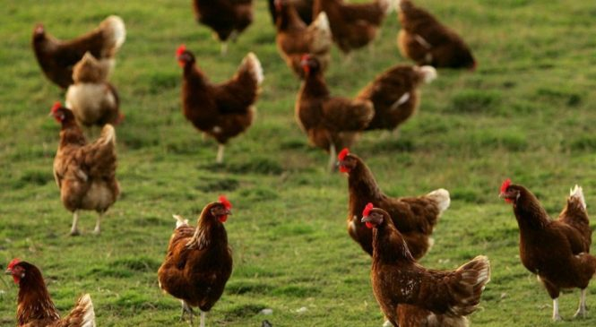 Chief vet defends support of larger hen cages