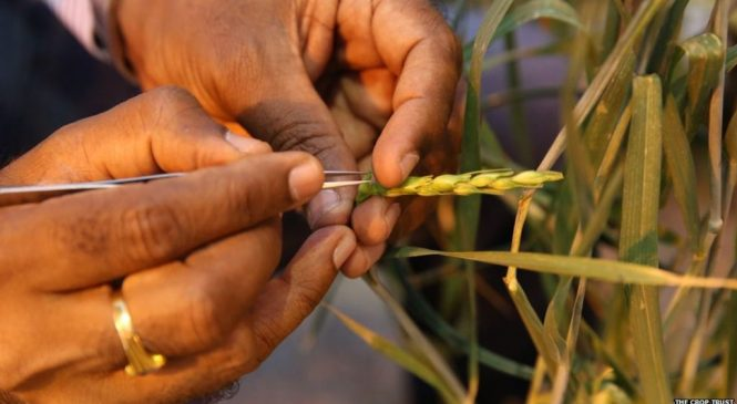 IUCN Red List: Wild crops listed as threatened