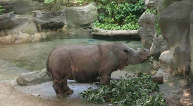 Sumatran rhino 'hanging on by a thread'