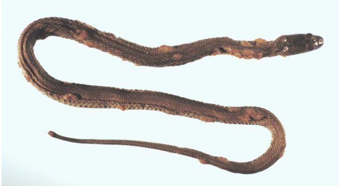 Fungal disease poses global threat to snakes