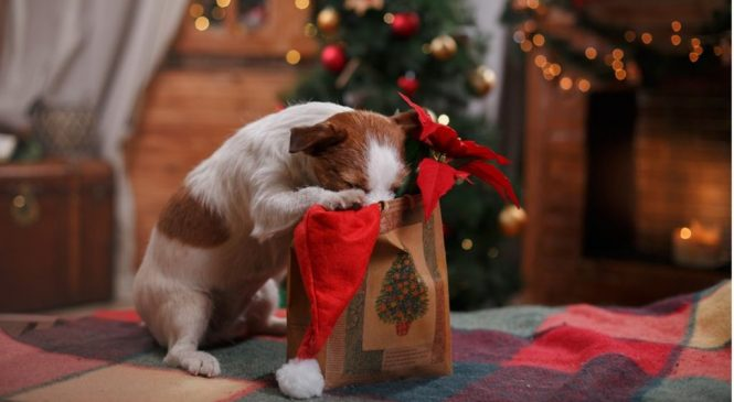 Chocolate poisoning risk to dogs at Christmas