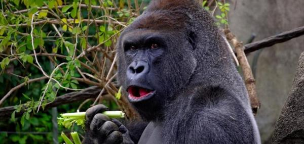 Gorillas can learn to clean food on their own, without social cues