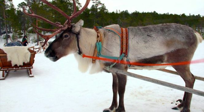 Reindeer hunted by wolverines get safety app