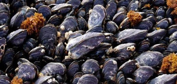 Ocean acidification altering the architecture of California mussel shells