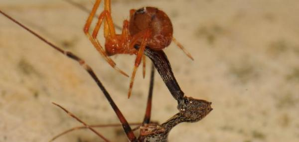 Study reveals 18 new pelican spider species