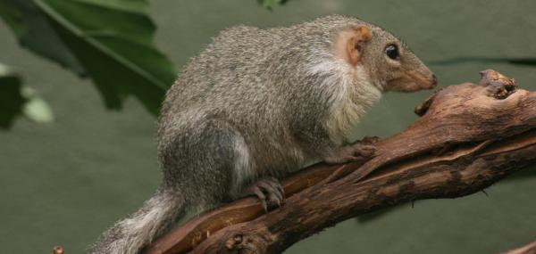 The tiny treeshrew defies a pair of evolutionary rules