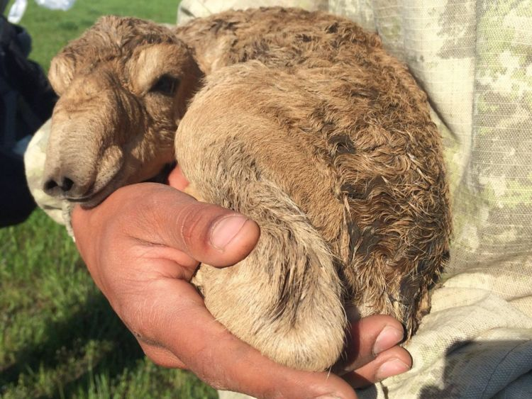 Saiga have the largest calves of all ungulates