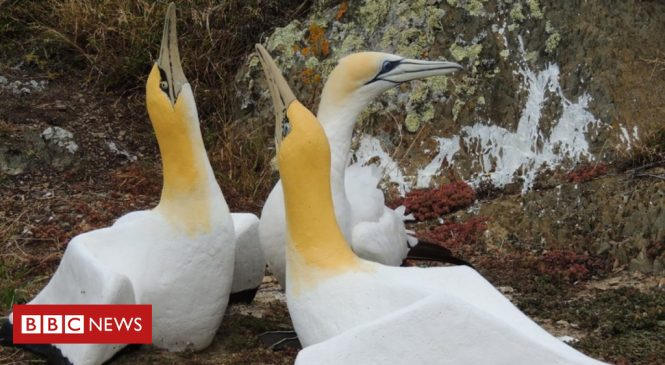 New Zealand gannet 'no mates Nigel' dies alongside fake partner