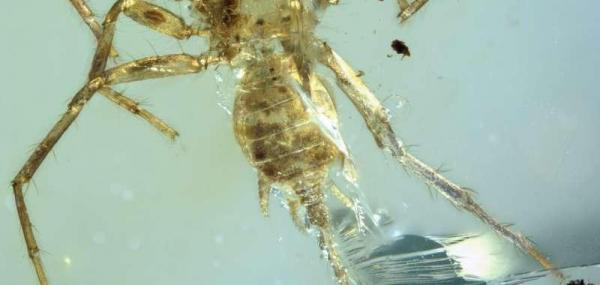 Ancient tailed spider trapped in amber offers insights into origin of spiders
