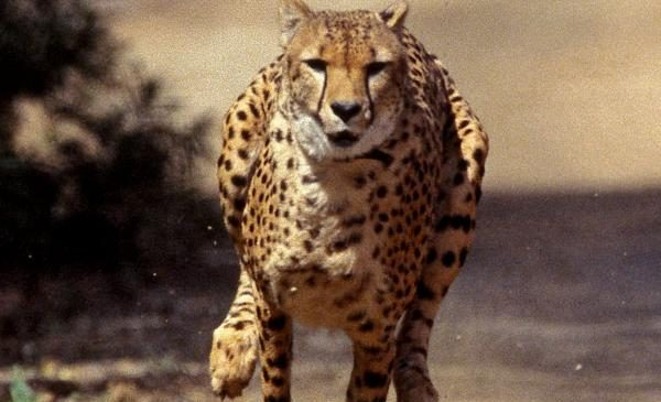 Inner ear of cheetahs specially-designed for hunting at high speeds, researchers say