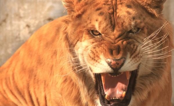 Lion poacher eaten by lions in South Africa