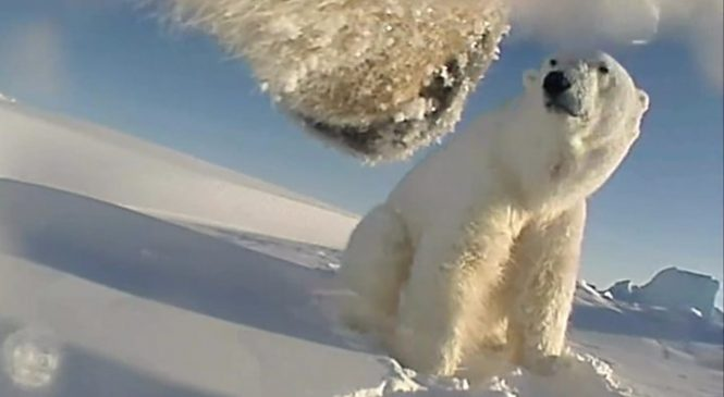 Polar bears 'running out of food'