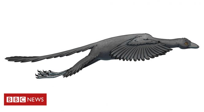 Archaeopteryx flew like a pheasant, say scientists