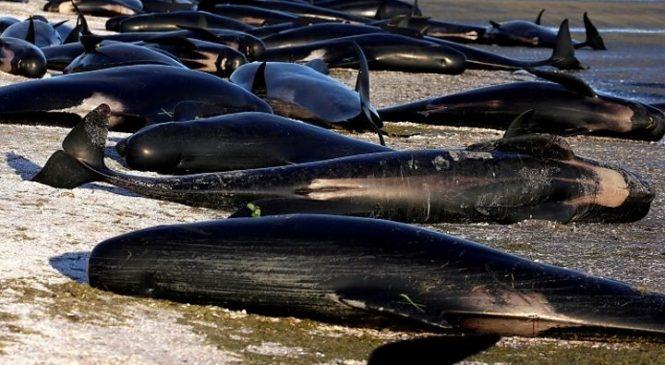 Whales in mass stranding on Western Australia beach