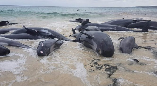 Hamelin Bay: Nearly 150 beached whales die in Australia