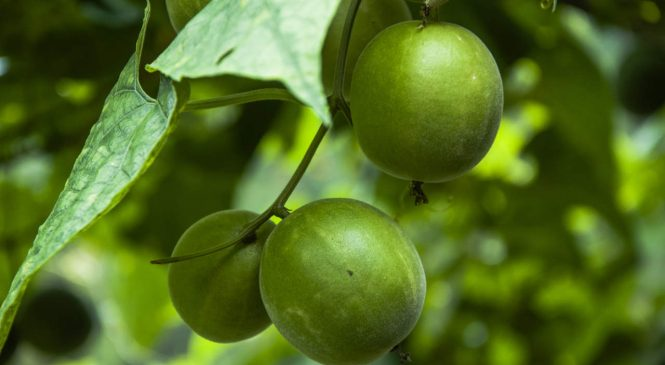 What Is Monk Fruit Sweetener and Is It a Healthy Option?