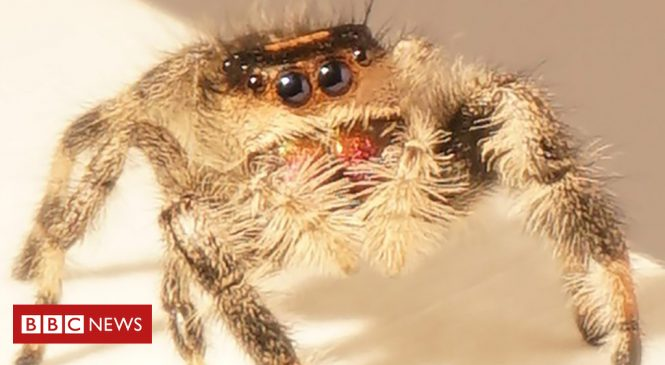 How a spider jumps on its prey – science has the answer