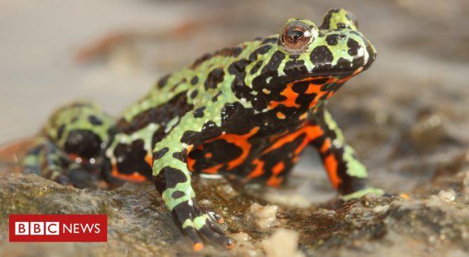 Origins of amphibian-killing fungus uncovered