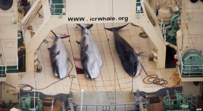 Japanese whale hunters kill 122 pregnant minke