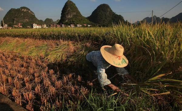 Climate change is robbing rice of its nutrition