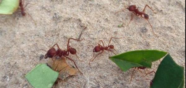 Farming techniques, not fungus, explain success of leafcutter ants