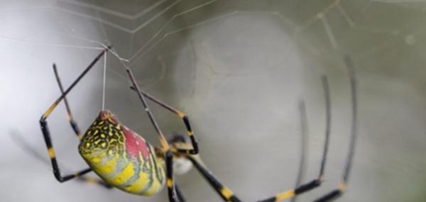 Study reveals key mechanism in formation of spider silk