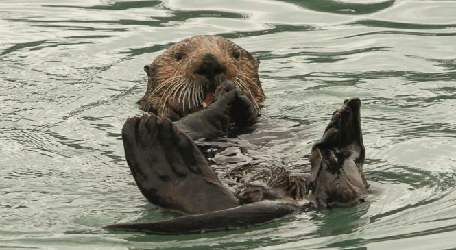 Alaska dive fishermen plead for relief from sea otters