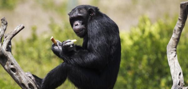 Bonobos won't eat filthy food, offering clues to the origins of disgust