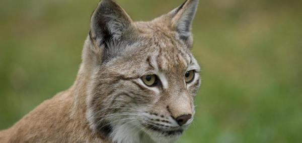 Lynxes in Europe are still in trouble, study shows