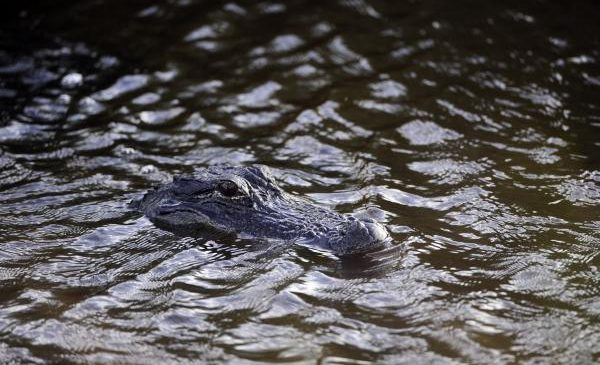 Mating season means more alligator-human interactions